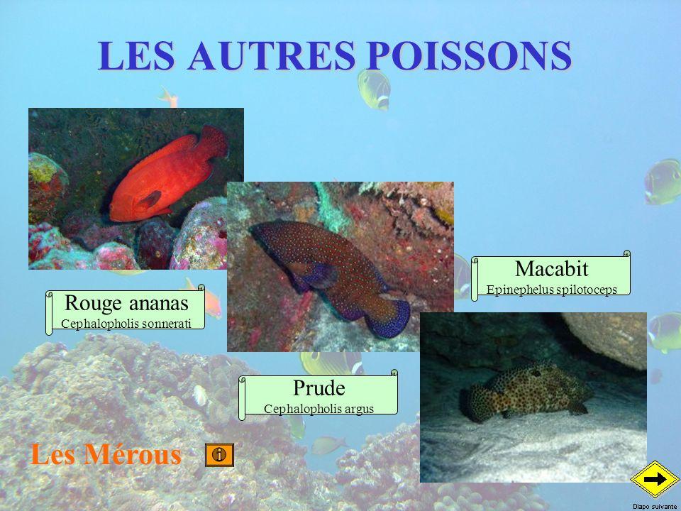 LES AUTRES POISSONS Les Mérous Macabit Rouge ananas Prude
