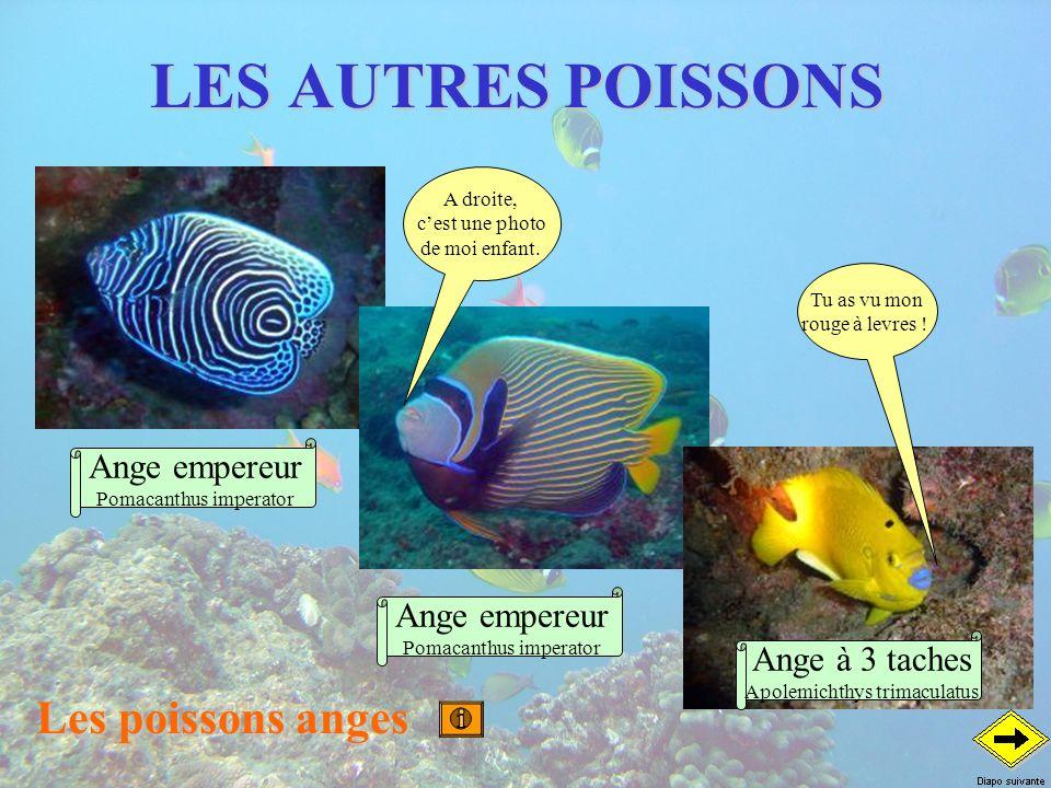 LES AUTRES POISSONS Les poissons anges Ange empereur Ange empereur