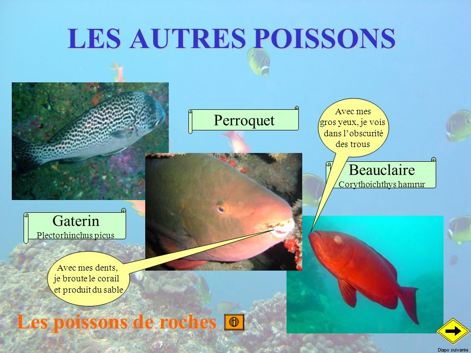 Corythoichthys hamrur