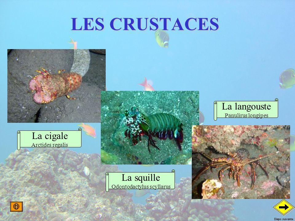 Odontodactylus scyllarus