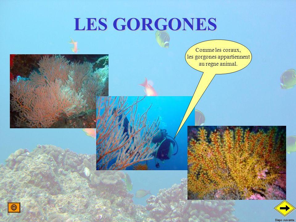les gorgones appartiennent