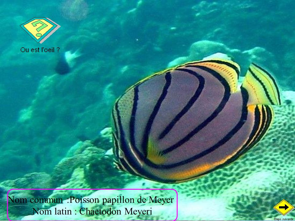 Nom commun :Poisson papillon de Meyer Nom latin : Chaetodon Meyeri