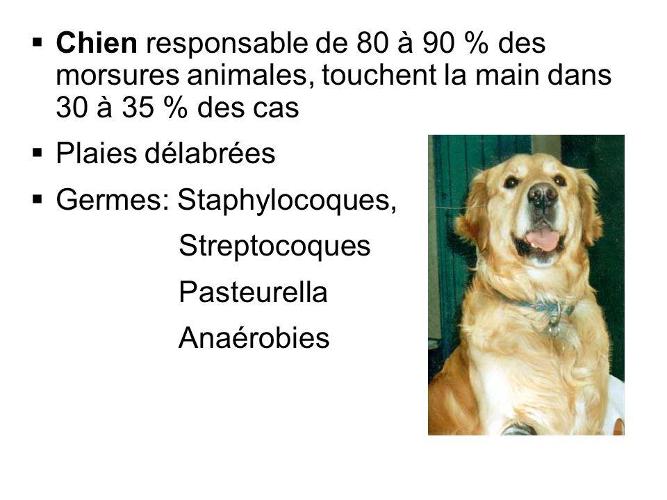 Chien responsable de 80 à 90 % des morsures animales, touchent la main dans 30 à 35 % des cas