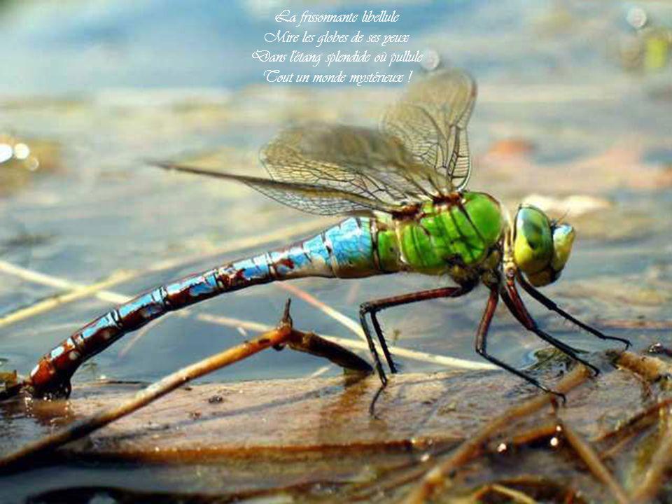 La frissonnante libellule Mire les globes de ses yeux