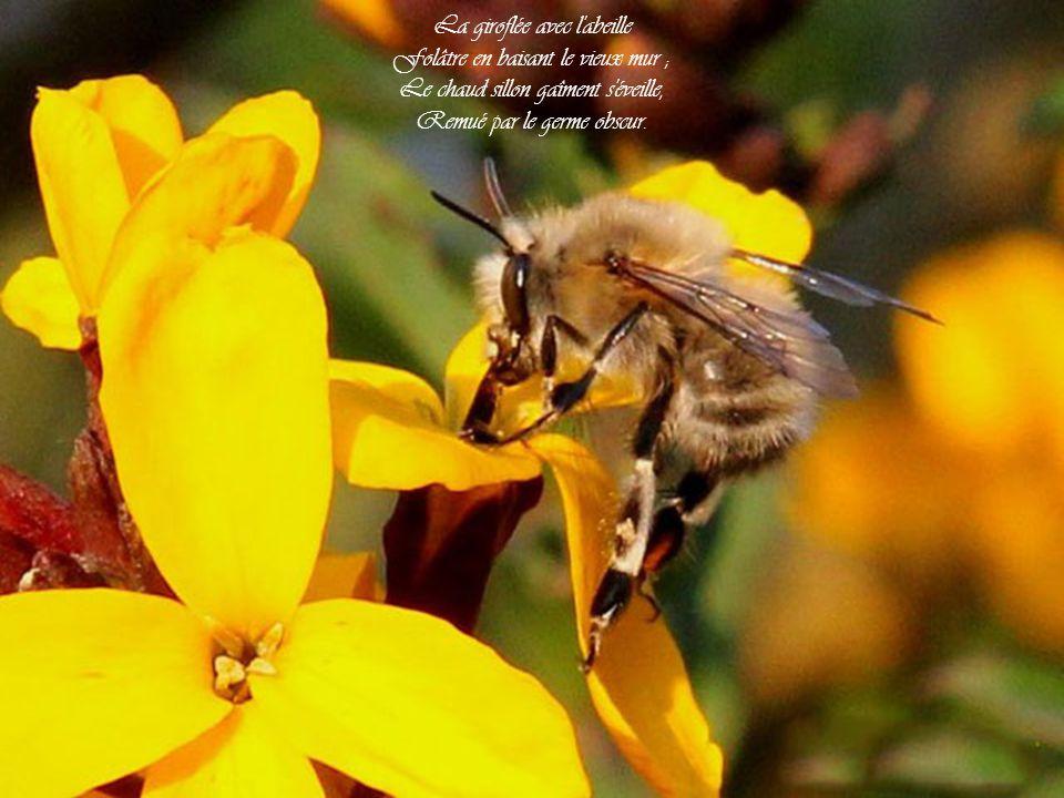 La giroflée avec l abeille Folâtre en baisant le vieux mur ;