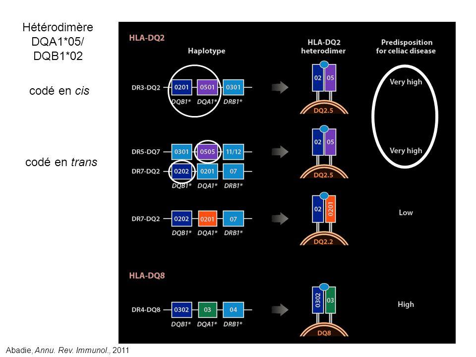 Hétérodimère DQA1*05/ DQB1*02 codé en cis codé en trans