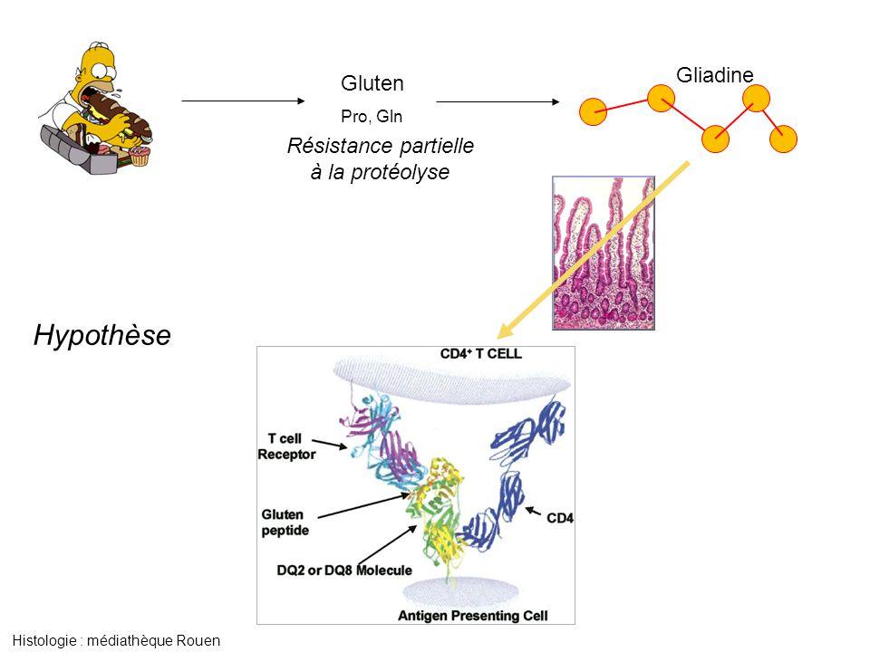 Hypothèse Gliadine Gluten Résistance partielle à la protéolyse