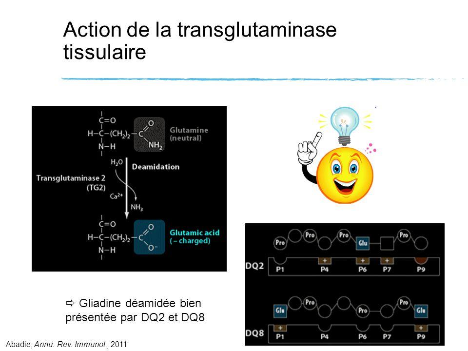 Action de la transglutaminase tissulaire
