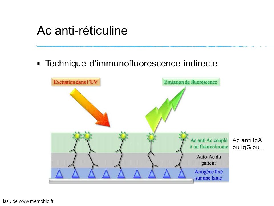 Ac anti-réticuline Technique d'immunofluorescence indirecte