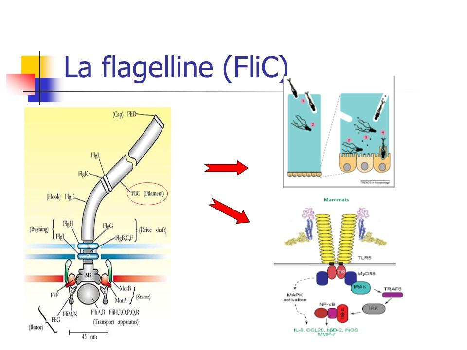 La flagelline (FliC)