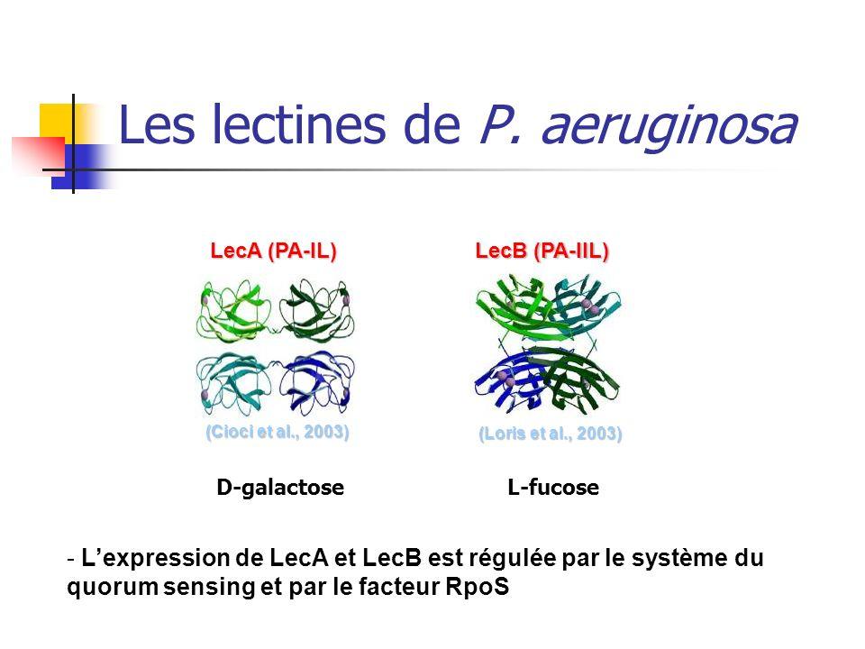 Les lectines de P. aeruginosa