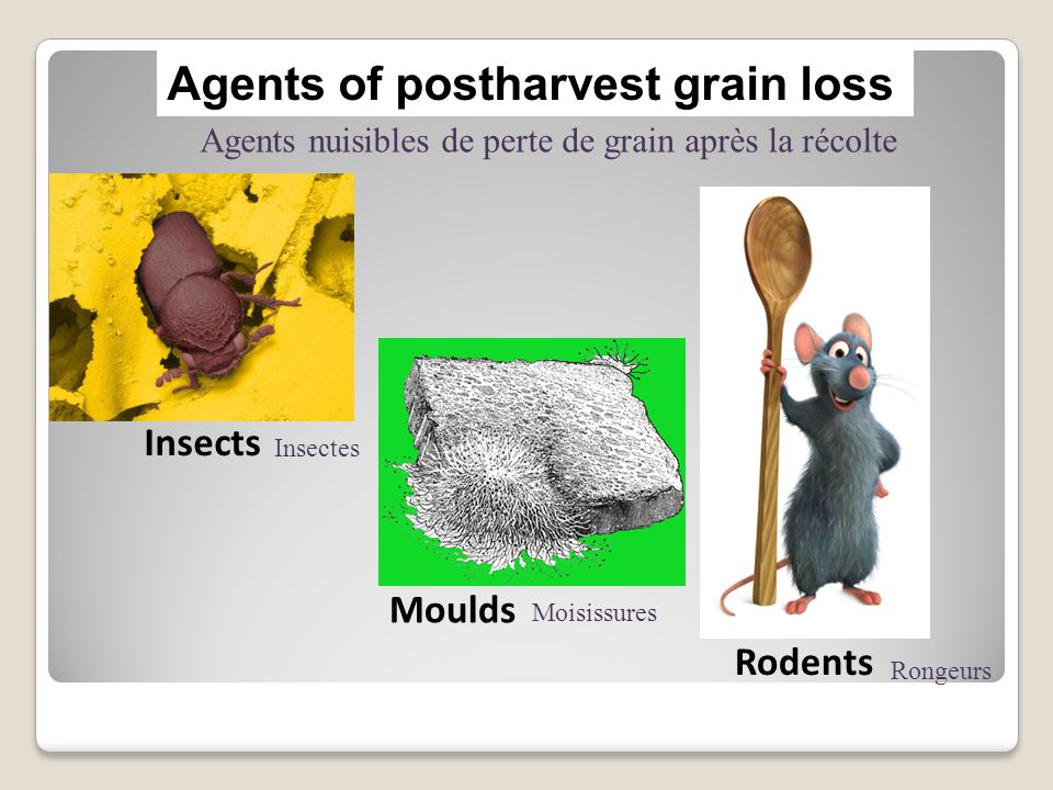 Agents of postharvest grain loss