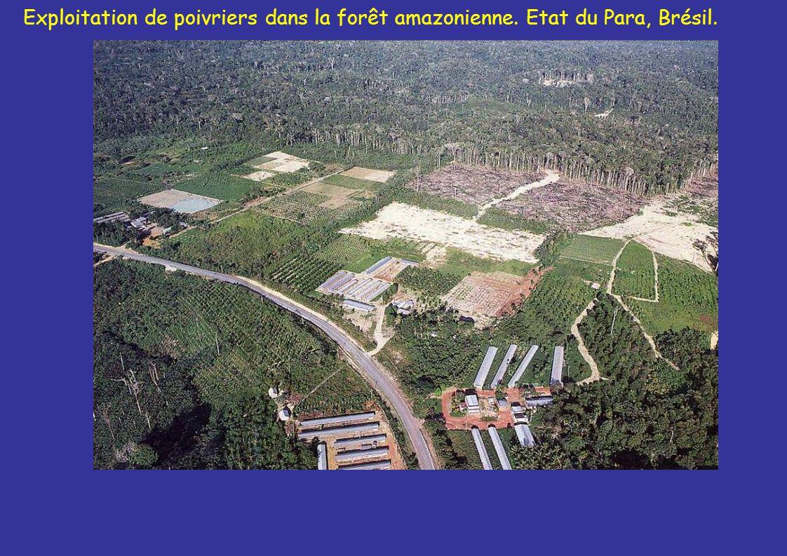 Exploitation de poivriers dans la forêt amazonienne