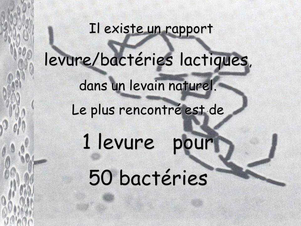 Il existe un rapport 1 levure pour 50 bactéries