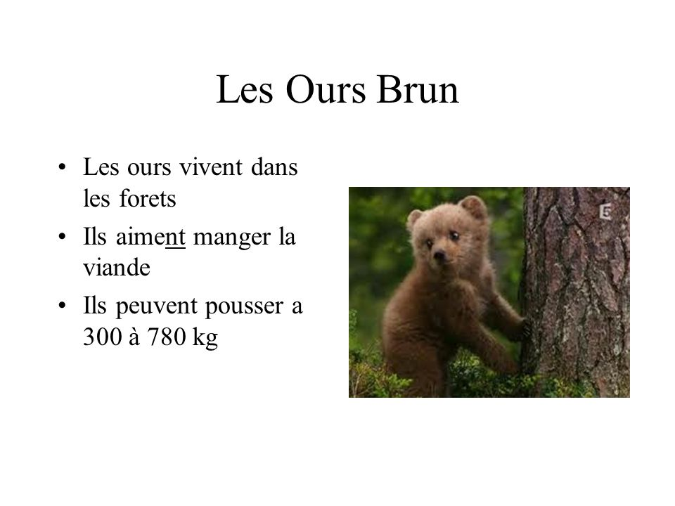 Les Ours Brun Les ours vivent dans les forets