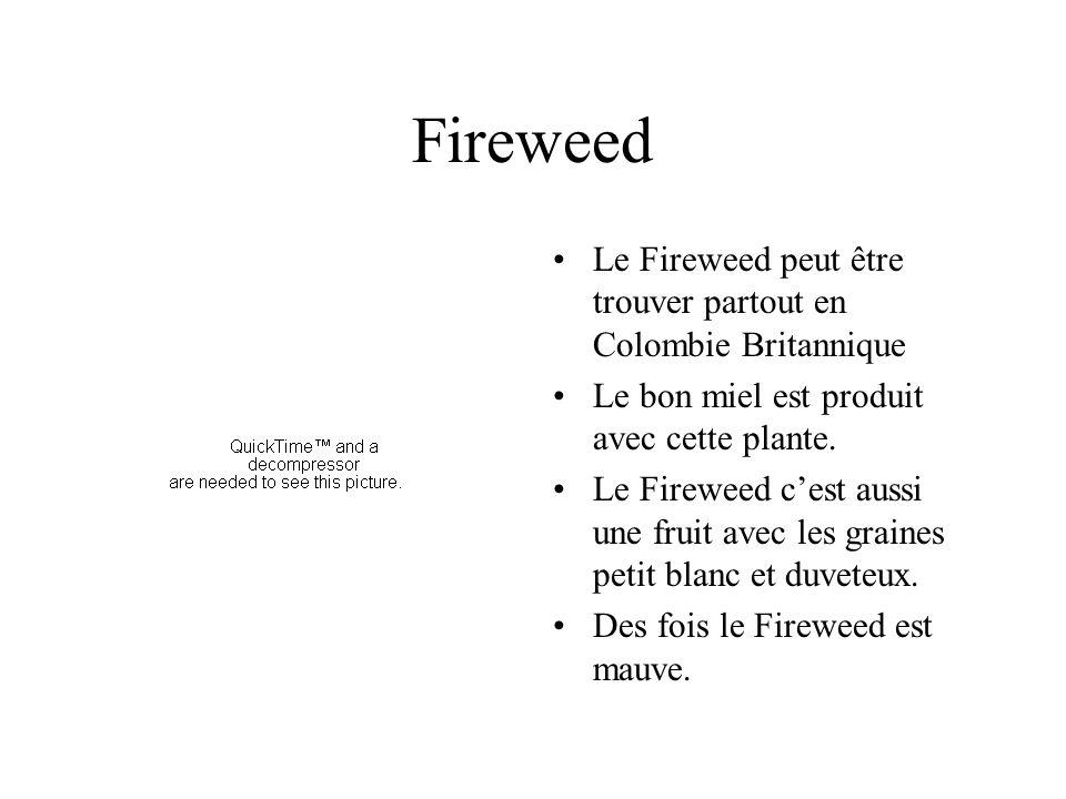 Fireweed Le Fireweed peut être trouver partout en Colombie Britannique