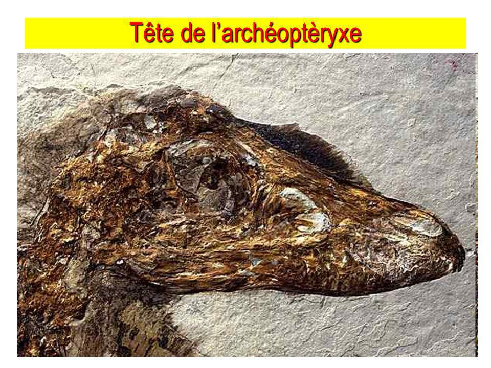 Tête de l'archéoptèryxe