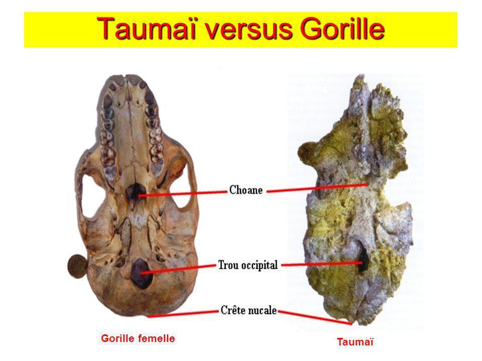 Taumaï versus Gorille Gorille femelle Taumaï
