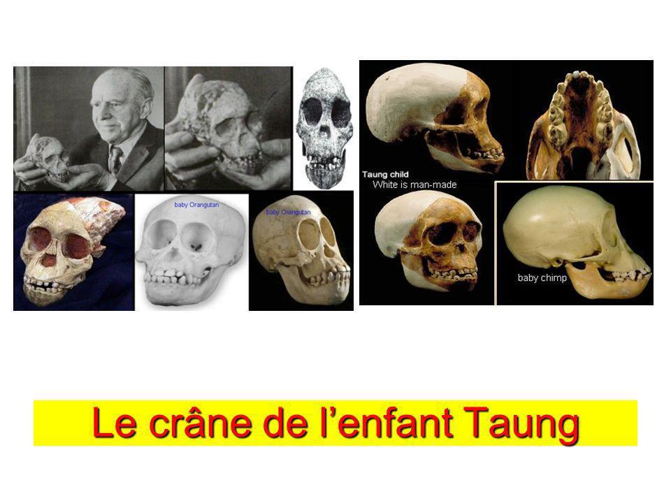 Le crâne de l'enfant Taung