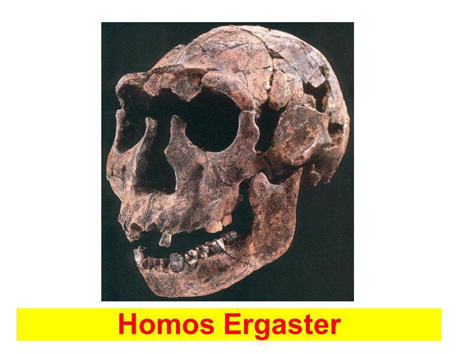 Homos Ergaster