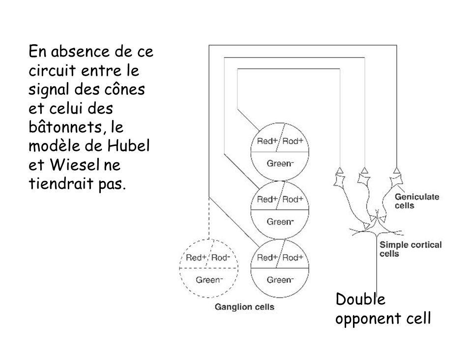 En absence de ce circuit entre le signal des cônes et celui des bâtonnets, le modèle de Hubel et Wiesel ne tiendrait pas.
