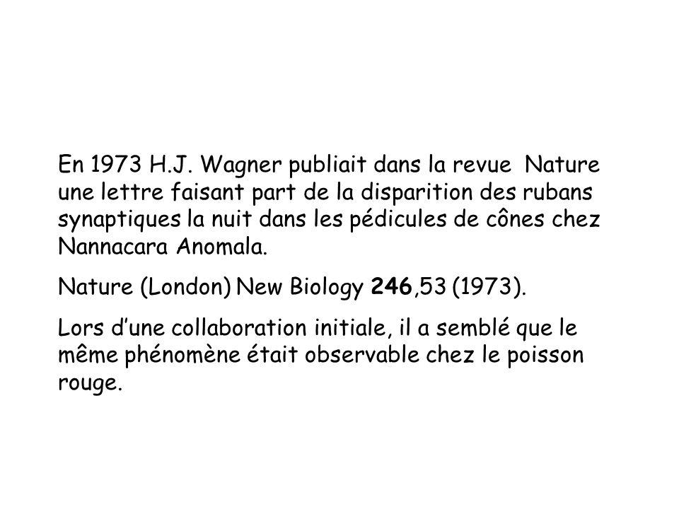 En 1973 H.J. Wagner publiait dans la revue Nature une lettre faisant part de la disparition des rubans synaptiques la nuit dans les pédicules de cônes chez Nannacara Anomala.