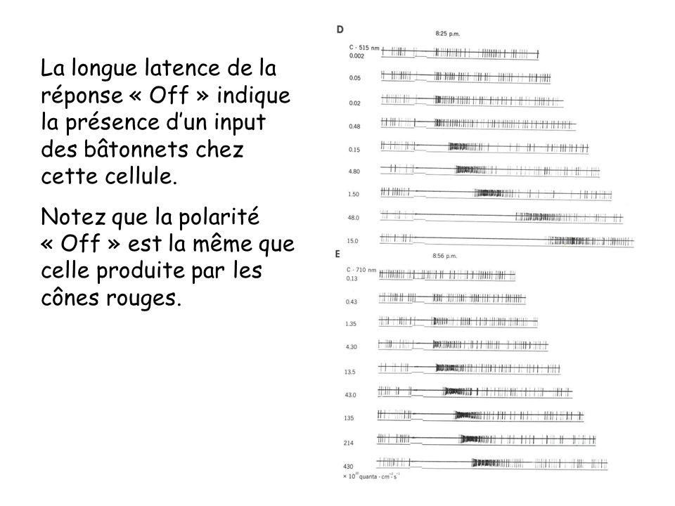 La longue latence de la réponse « Off » indique la présence d'un input des bâtonnets chez cette cellule.