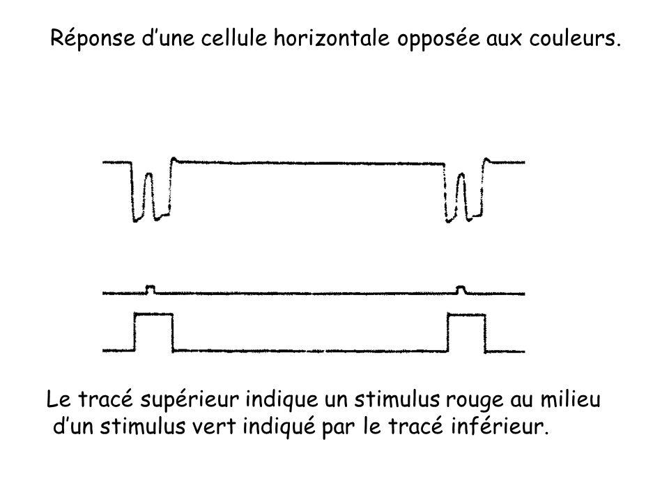 Réponse d'une cellule horizontale opposée aux couleurs.