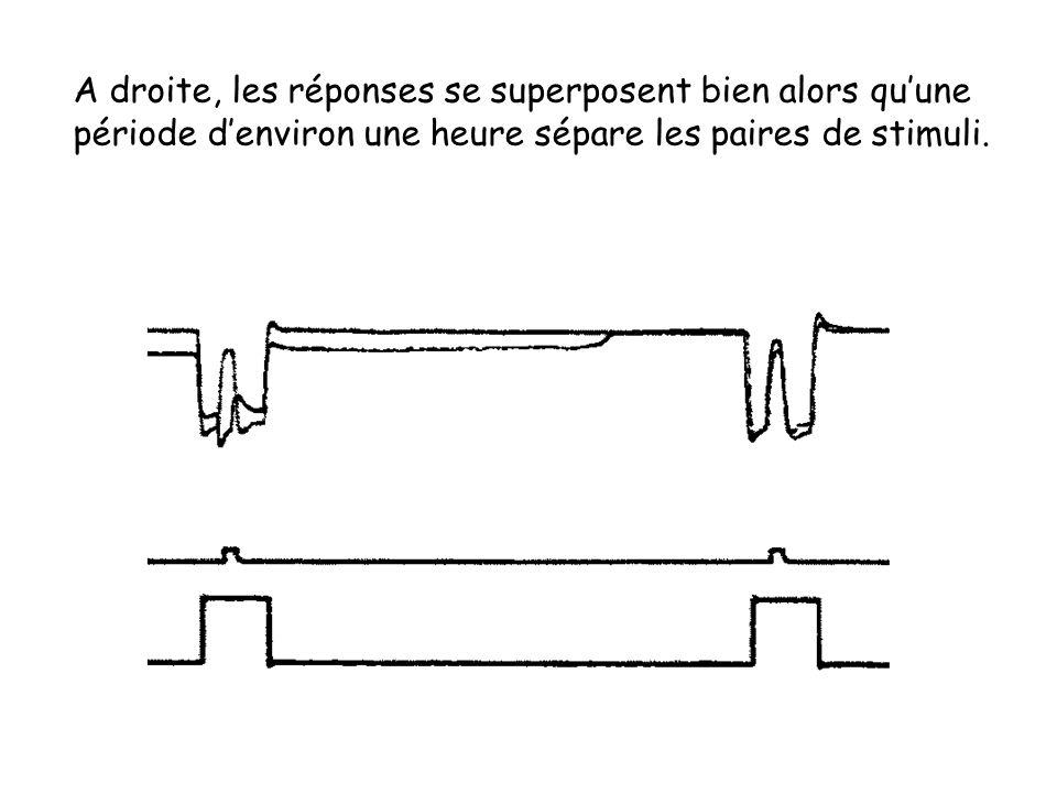 A droite, les réponses se superposent bien alors qu'une période d'environ une heure sépare les paires de stimuli.