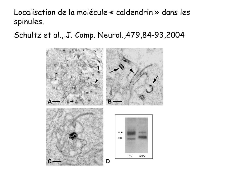 Localisation de la molécule « caldendrin » dans les spinules.