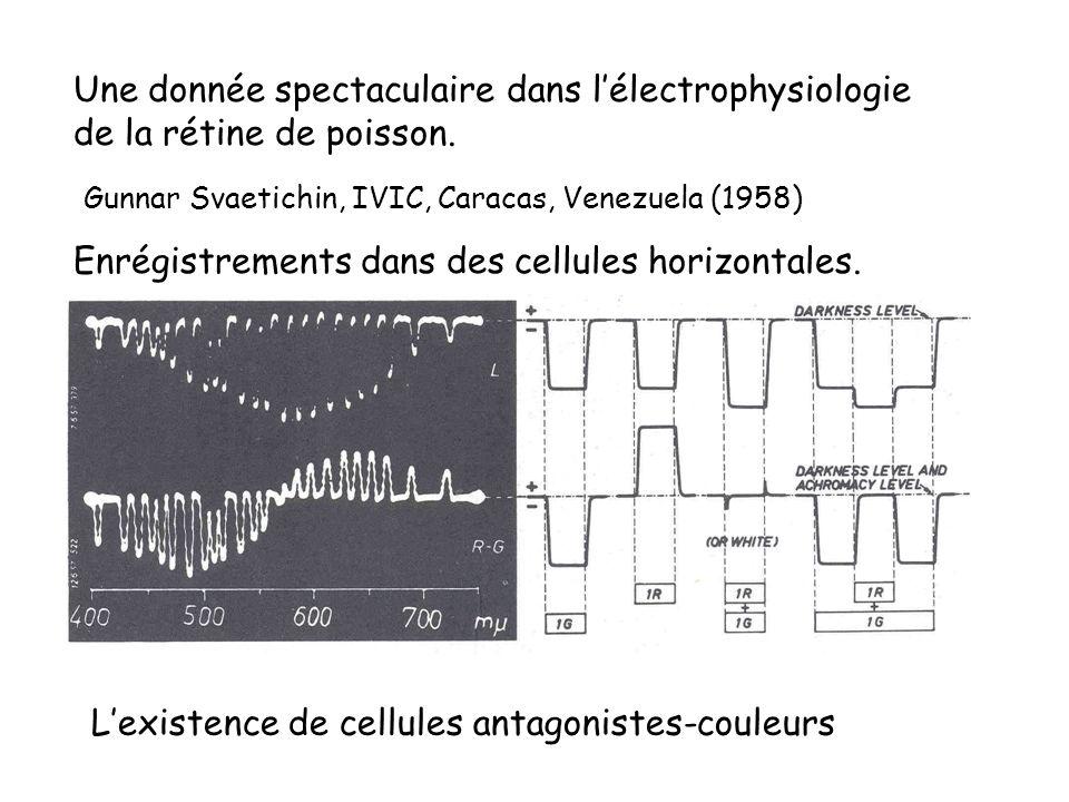 Une donnée spectaculaire dans l'électrophysiologie de la rétine de poisson.