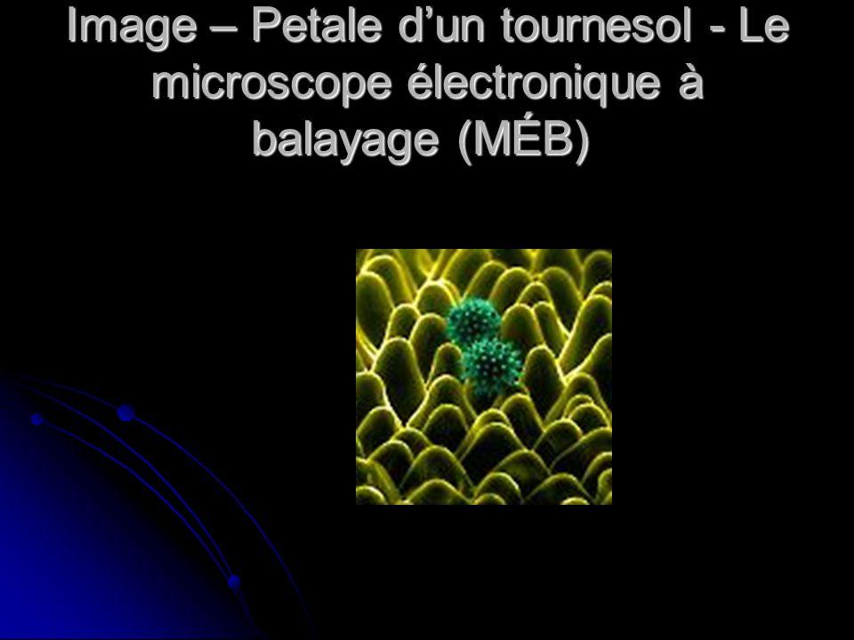 Image – Petale d'un tournesol - Le microscope électronique à balayage (MÉB)