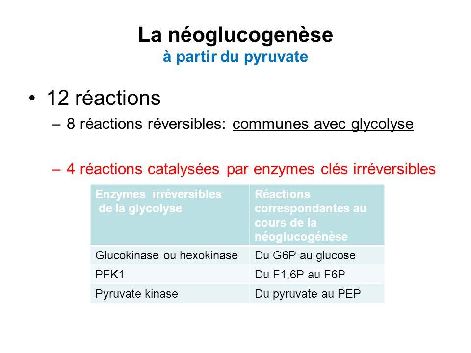 La néoglucogenèse à partir du pyruvate