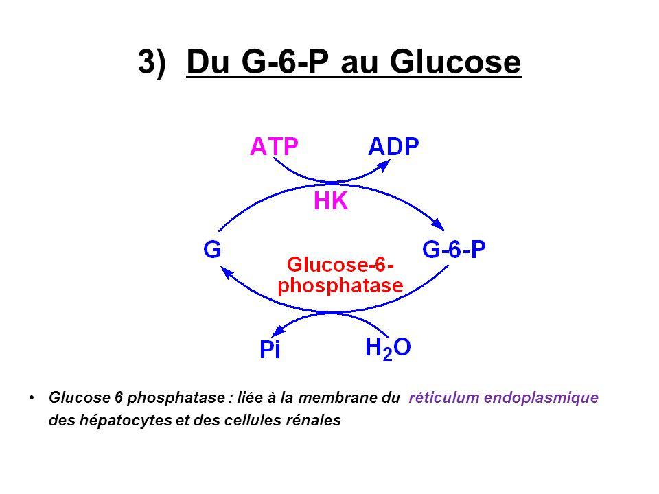3) Du G-6-P au Glucose Glucose 6 phosphatase : liée à la membrane du réticulum endoplasmique des hépatocytes et des cellules rénales.