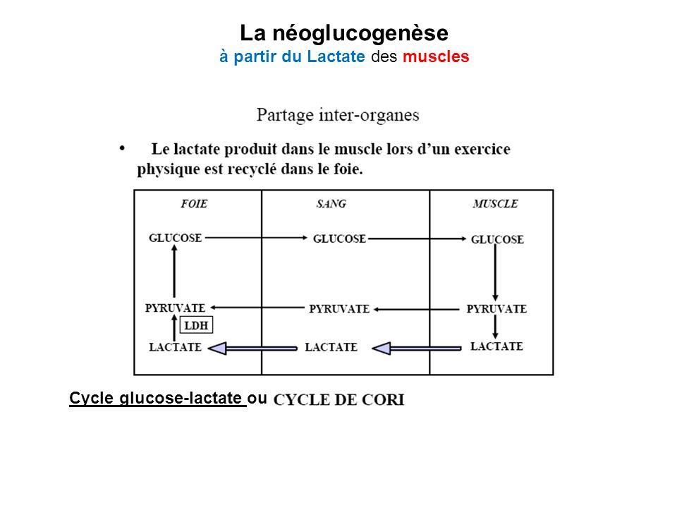 La néoglucogenèse à partir du Lactate des muscles