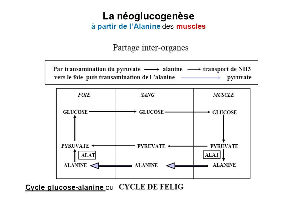 La néoglucogenèse à partir de l'Alanine des muscles