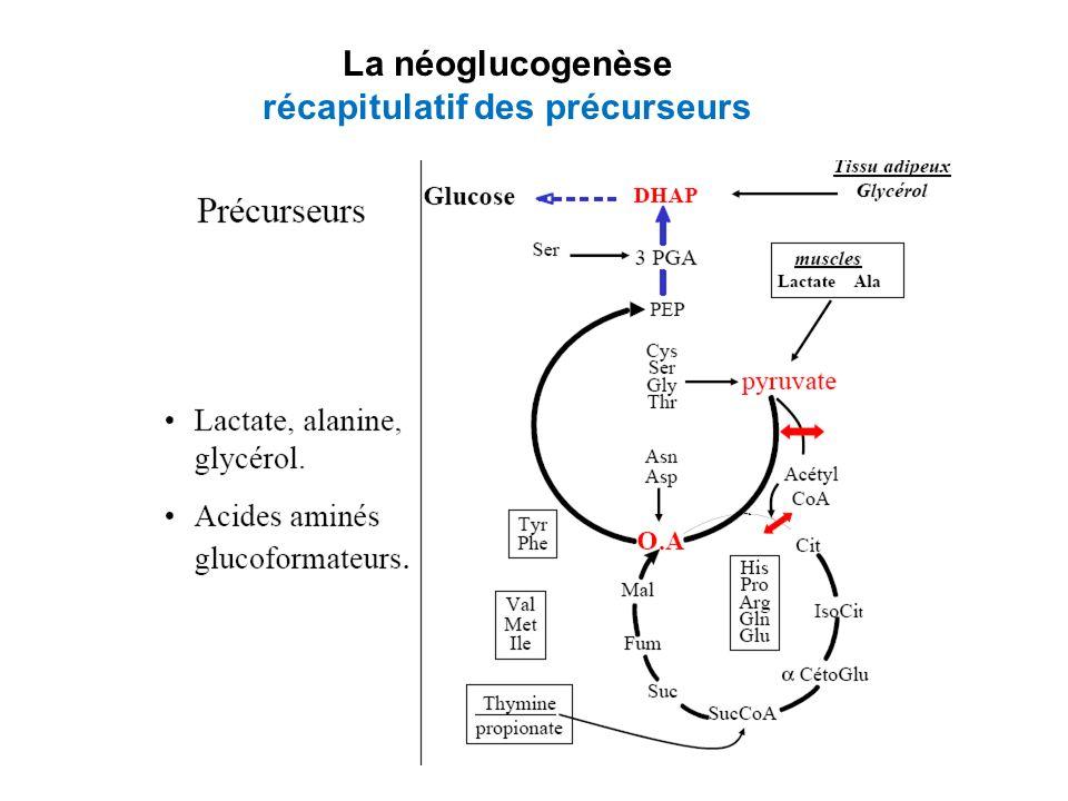 La néoglucogenèse récapitulatif des précurseurs