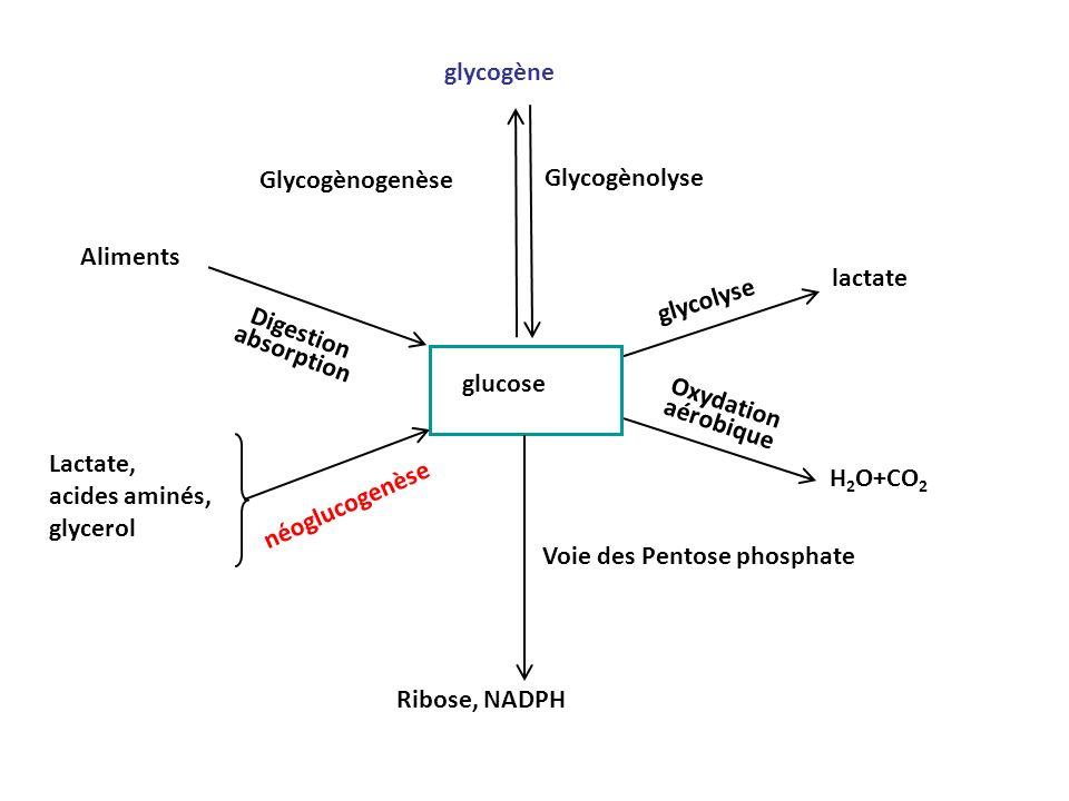 glycogène Glycogènogenèse. Glycogènolyse. Aliments. lactate. glycolyse. Digestion absorption. glucose.