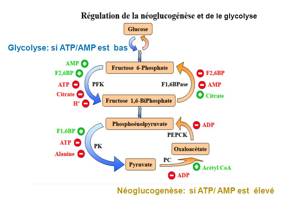 Glycolyse: si ATP/AMP est bas