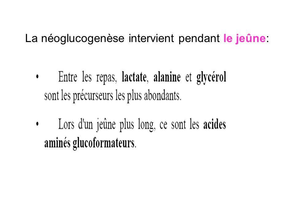 La néoglucogenèse intervient pendant le jeûne: