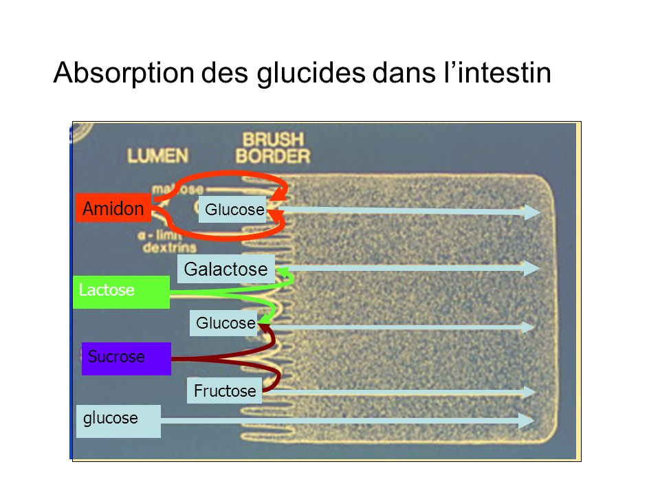 Absorption des glucides dans l'intestin