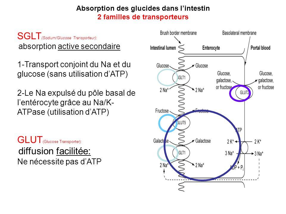 Absorption des glucides dans l'intestin 2 familles de transporteurs