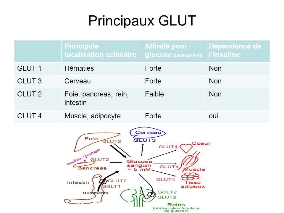 Principaux GLUT Principale localisation cellulaire