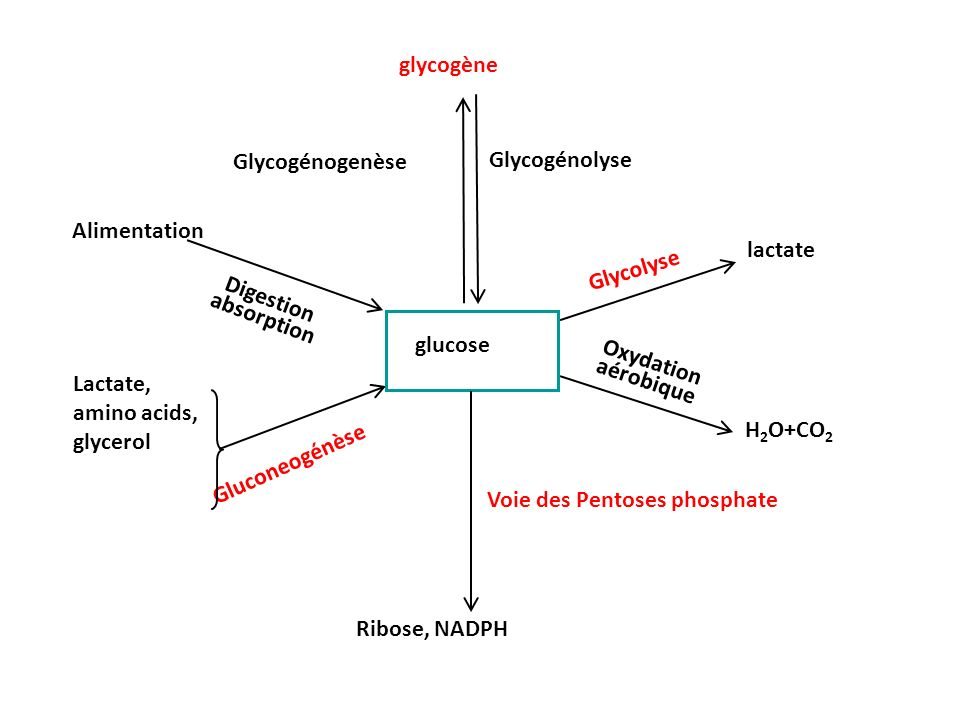 glycogène Glycogénogenèse. Glycogénolyse. Alimentation. lactate. Glycolyse. Digestion absorption.