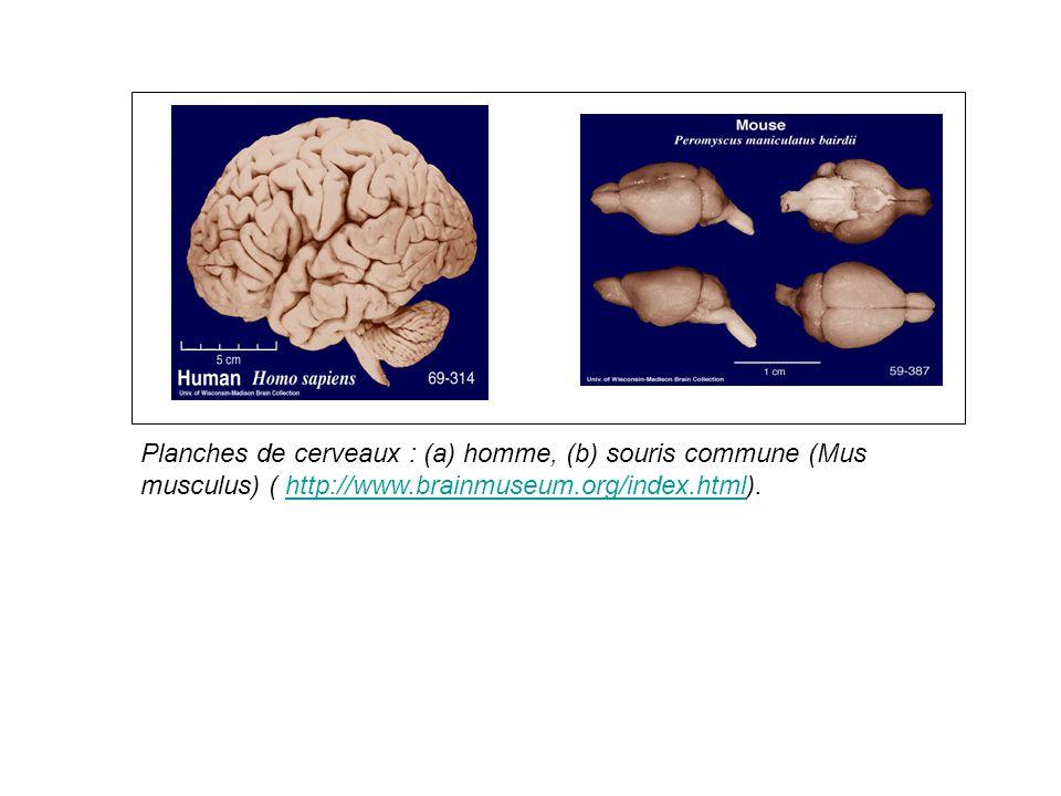 Planches de cerveaux : (a) homme, (b) souris commune (Mus musculus) ( http://www.brainmuseum.org/index.html).