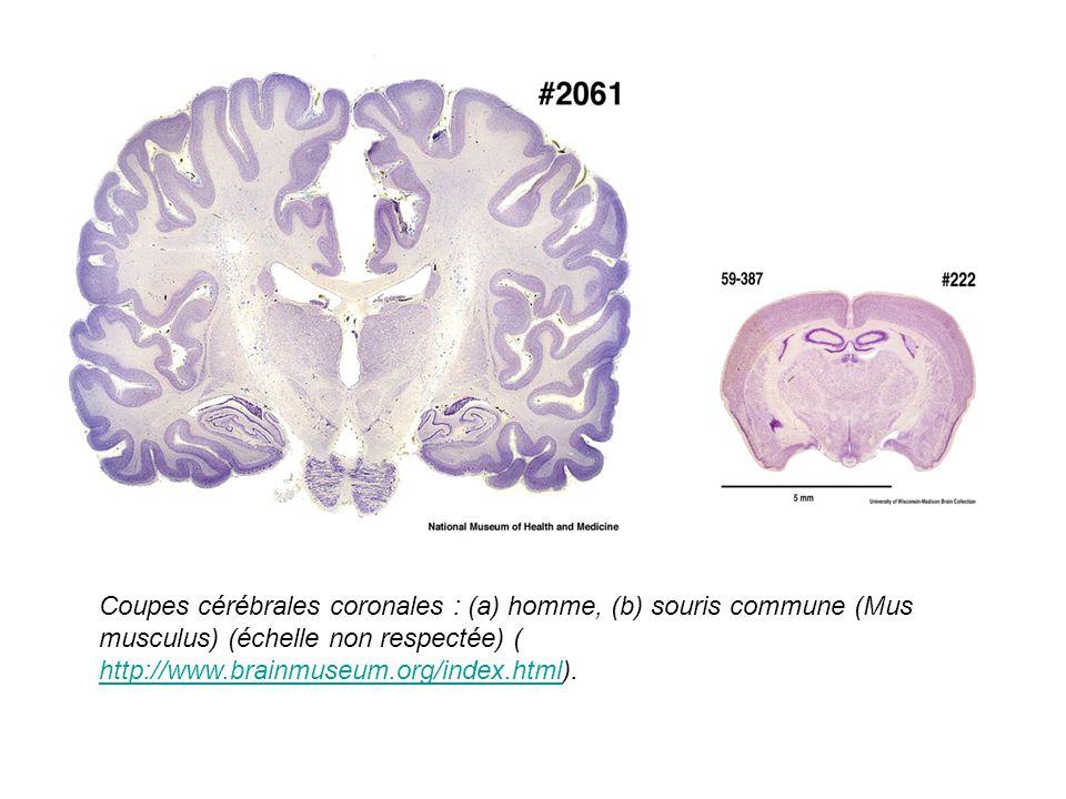 Coupes cérébrales coronales : (a) homme, (b) souris commune (Mus musculus) (échelle non respectée) ( http://www.brainmuseum.org/index.html).