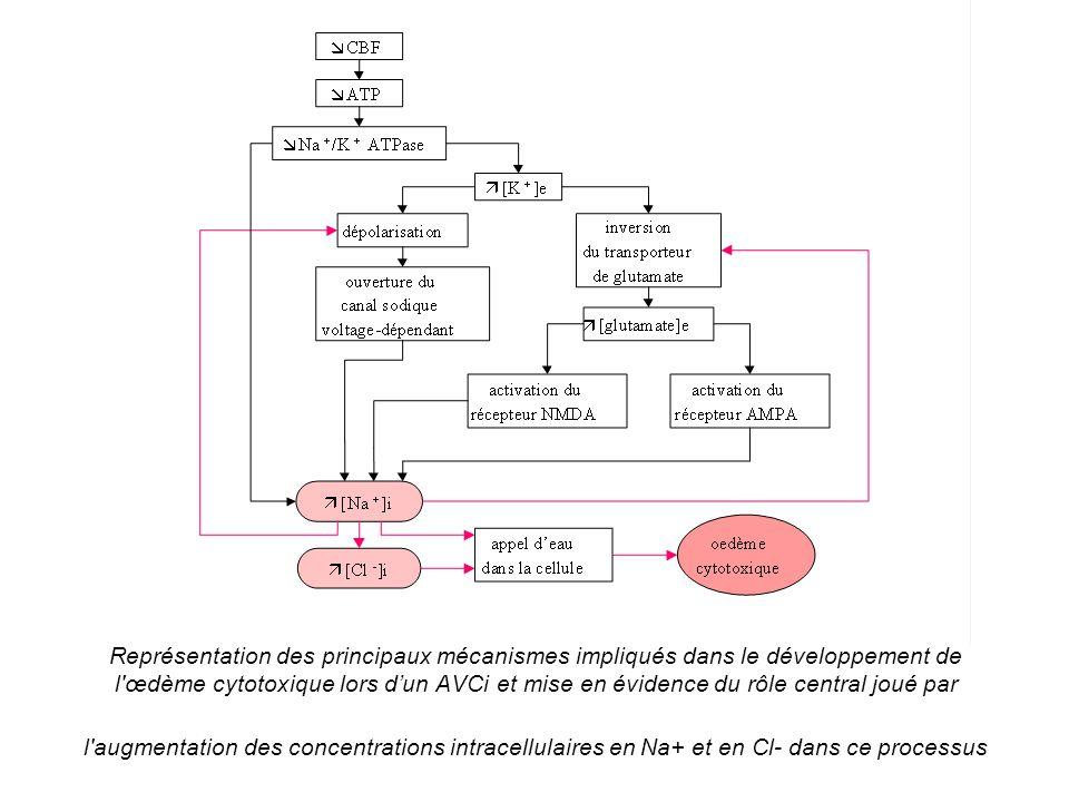 Représentation des principaux mécanismes impliqués dans le développement de l œdème cytotoxique lors d'un AVCi et mise en évidence du rôle central joué par l augmentation des concentrations intracellulaires en Na+ et en Cl- dans ce processus