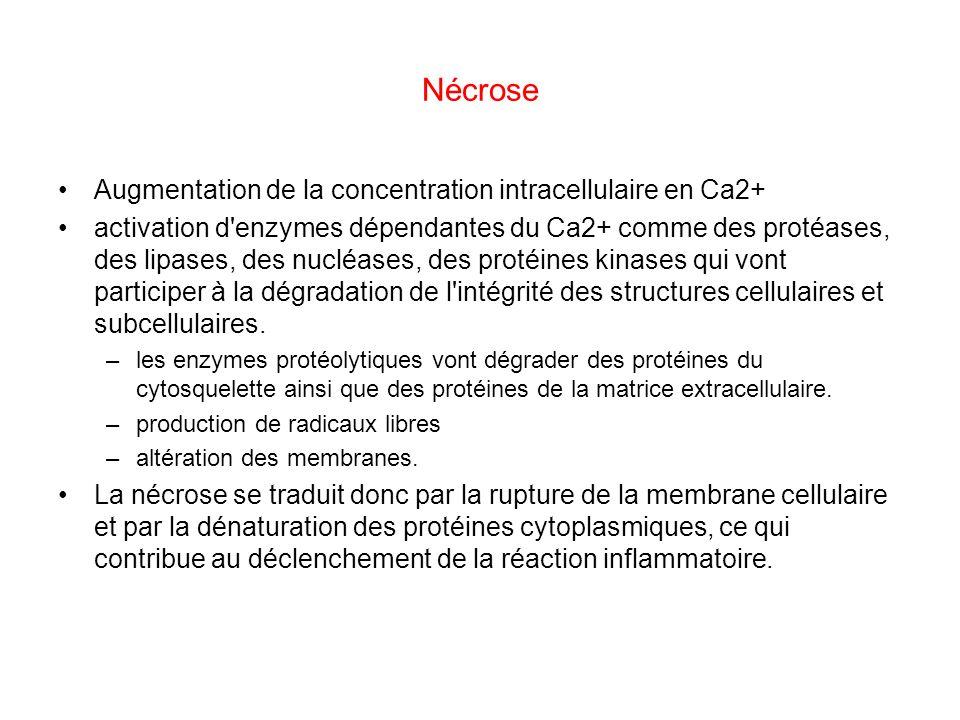 Nécrose Augmentation de la concentration intracellulaire en Ca2+
