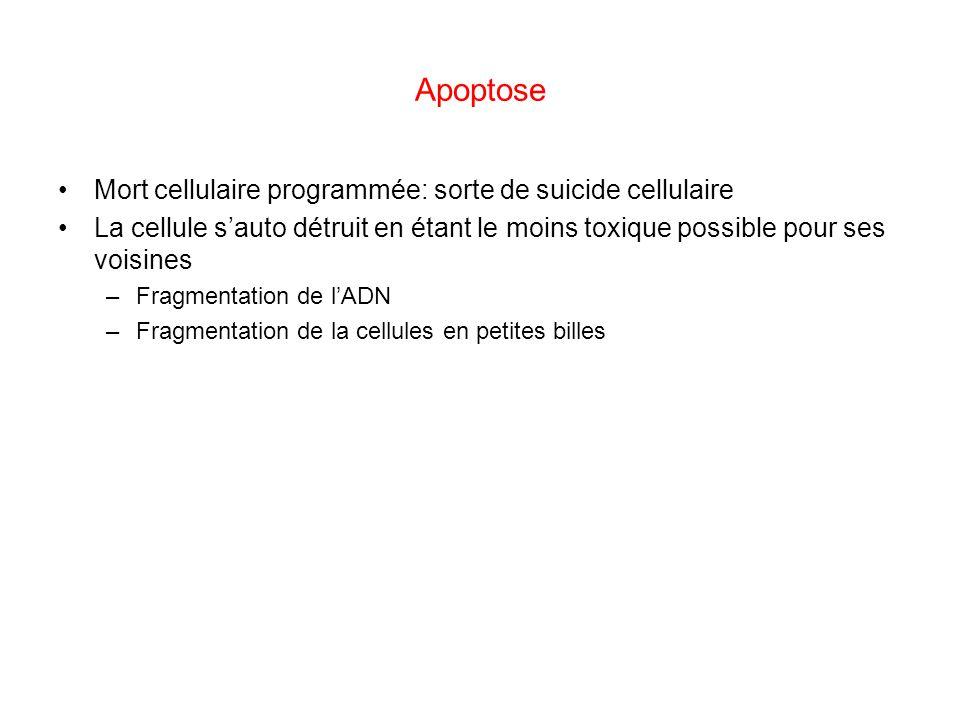 Apoptose Mort cellulaire programmée: sorte de suicide cellulaire