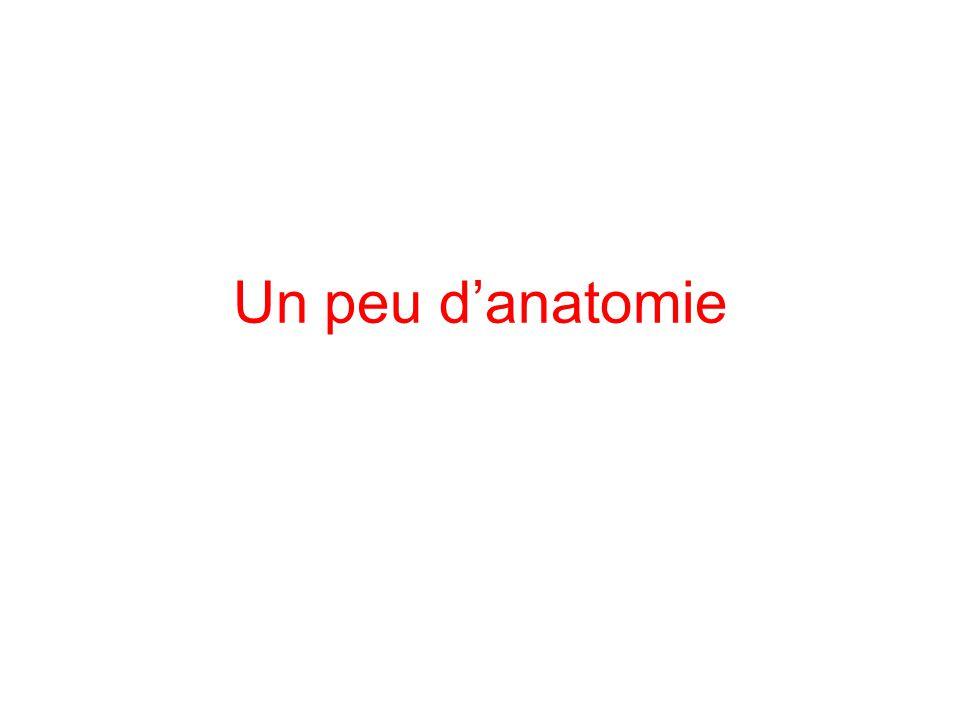 Un peu d'anatomie
